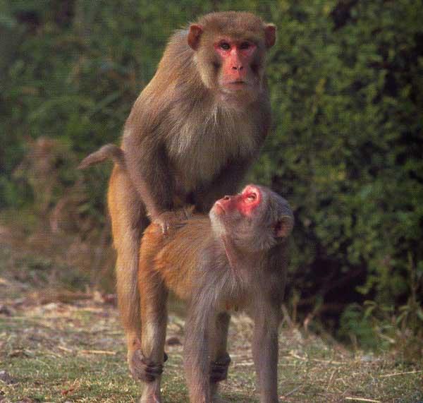 Секс с обезьянам 135